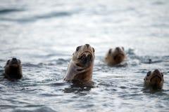 Seelöwefamilie auf dem Strand im Patagonia Stockfotografie