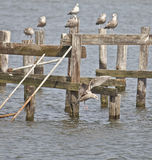 Seemöve-Landung im Gezeitenwasser von Virginia lizenzfreies stockbild