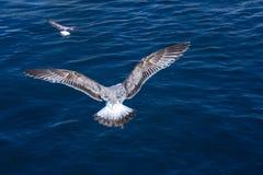 Seemöwe über dem blauen Meer Der Vogel verbreitet seine Flügel und Länder auf dem Wasser Vogel falow ein anderer Vogel stockfoto