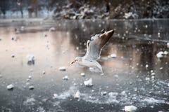Seemöwe über einem gefrorenen See stockfotografie