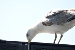 Seemöwe über Meer und blauem Himmel stockfotografie