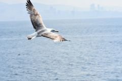 Seemöwe über Meer und blauem Himmel lizenzfreies stockbild