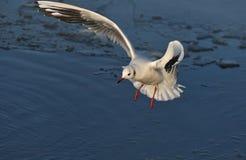 Seemöwe über Wasser Stockfoto