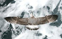Seemöwe über Wellen Lizenzfreie Stockfotos