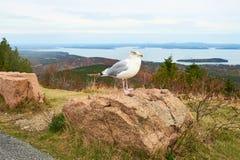 Seemöwe am Acadia-Nationalpark, Maine Lizenzfreie Stockbilder