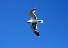 Seemöwe auf blauem Himmel stockbild