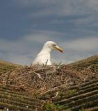 Seemöwe auf Dachverschachtelung lizenzfreies stockfoto