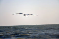 Seemöwe auf dem Meer Lizenzfreies Stockfoto