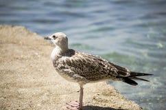 Seemöwe auf dem Strand Lizenzfreie Stockbilder