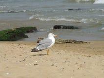 Seemöwe auf dem Strand lizenzfreies stockfoto