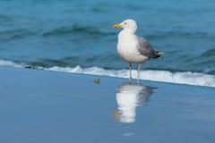 Seemöwe auf dem Strand mit Reflexion Lizenzfreies Stockbild