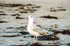 Seemöwe auf dem Strand von Warnemuende Stockbilder