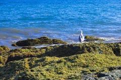 Seemöwe auf der felsigen moosigen Küste mit Türkisozean im Hintergrund Lizenzfreie Stockfotos