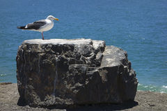 Seemöwe auf einem Felsen Stockfotos