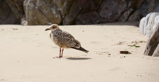 Seemöwe auf einem Strand Stockfoto