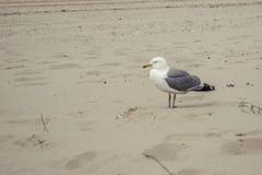 Seemöwe auf einem Strand Lizenzfreies Stockfoto