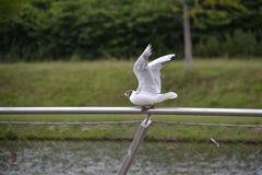 Seemöwe auf einem Zaun Lizenzfreies Stockfoto