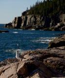 Seemöwe auf Felsen im Acadia-Nationalpark in Neu-England Lizenzfreie Stockbilder