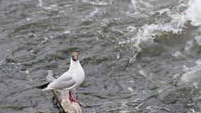 Seemöwe auf Klotz passt auf Fische im Großen Flusswasser auf stock video footage