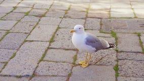 Seemöwe auf Pflasterstein in Venedig stock footage