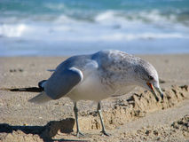 Seemöwe auf Strand Lizenzfreies Stockfoto