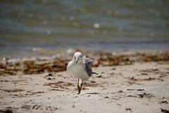Seemöwe auf Strand Stockbilder