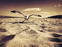 Seemöwe auf Strand Lizenzfreie Stockfotografie