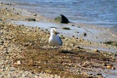 Seemöwe auf Ufer mit Muschel im Mund Lizenzfreies Stockbild