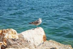 Seemöwe in dem Meer Lizenzfreie Stockbilder