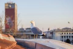 Seemöwe der Stadtbewohner stockfoto