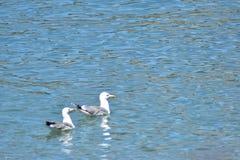 2 Seemöwe in der Wasserwartenahrung, Genfersee die Schweiz stockfoto
