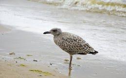 Seemöwe des jungen Vogels auf Strand Lizenzfreie Stockfotografie