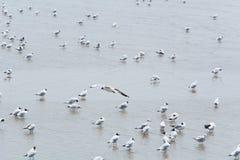 Seemöwe, die über andere fliegt Stockfoto