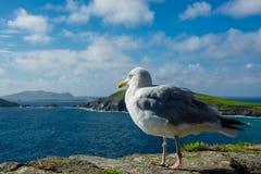 Seemöwe, die über Atlantik von der Küste schaut Lizenzfreie Stockbilder