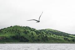 Seemöwe, die über das Meer auf einem Hintergrund von grünen Hügeln fliegt Lizenzfreies Stockfoto