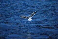 Seemöwe, die über dem Pazifischen Ozean ansteigt Lizenzfreies Stockbild
