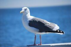 Seemöwe, die über den Pier aufpasst Lizenzfreie Stockfotos