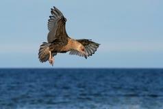 Seemöwe, die über Ozean jagt Lizenzfreie Stockfotografie