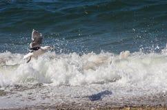 Seemöwe, die über Wellen auf dem Strand fliegt Stockbilder