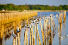 Seemöwe, die auf Bambus, Bangpoo Thailand steht Lizenzfreies Stockfoto