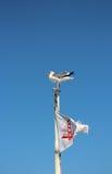 Seemöwe, die auf Boot mit Golden gate bridge-Flagge sitzt Stockbilder