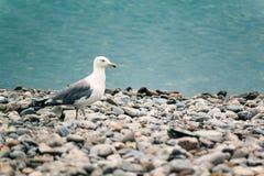 Seemöwe, die auf dem Kieselufer von azurblauem Meer steht Lizenzfreie Stockfotografie