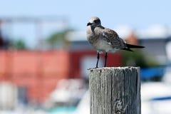 Seemöwe, die auf dem Pier steht lizenzfreies stockfoto