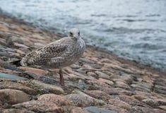 Seemöwe, die auf der Steinpflasterung nahe dem Wasser steht Lizenzfreie Stockfotos