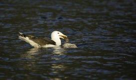 Seemöwe, die auf eine Ente einzieht Lizenzfreie Stockfotos