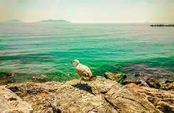 Seemöwe, die auf einem Felsen übersieht das Meer stillsteht Stockbilder