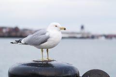 Seemöwe, die auf einem Schiffspoller steht und die Kamera an einem kalten bewölkten Tag im Winter betrachtet Stockbilder