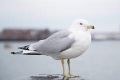 Seemöwe, die auf einem Schiffspoller steht und die Kamera an einem kalten bewölkten Tag im Winter betrachtet Stockbild