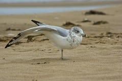 Seemöwe, die auf einem Strand aufwirft Lizenzfreie Stockfotografie