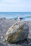 Seemöwe, die auf Strand-Felsen einzel-füßig steht Lizenzfreie Stockbilder